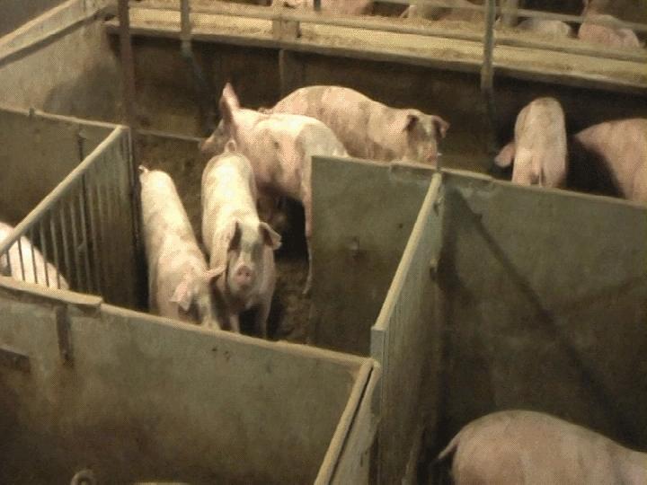 Översikt över ett stall med grisar i boxar