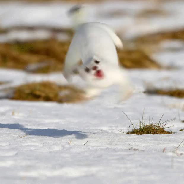 Watch and share A Stoat. : Photoshopbattles GIFs on Gfycat