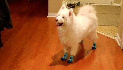 best text posts, ceeeeelebrate good times come on, cute dog, cute dog gifs, cute puppy, cute text, dog socks, good things in life, happy dog, happy moments, happy things, relatable, relatable gif, relatable text post, samoyed, samoyed dog, samoyed pup, so damn relatable, so relatable, successful text post, That moment when u realizeu finallygot one successful text p GIFs