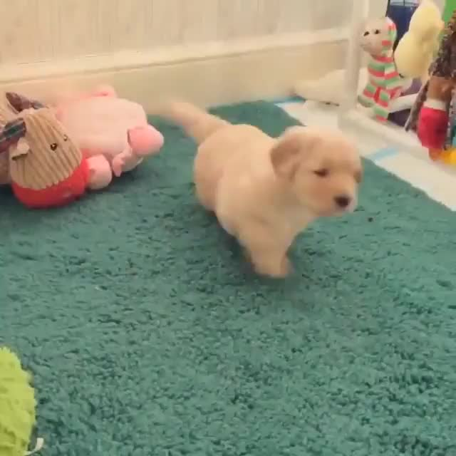 Golden retriever pup trying to get his mom to play with him GIFs