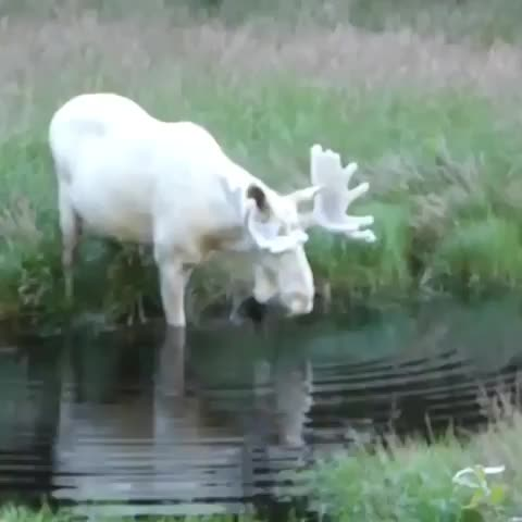 Watch and share An Exceptionally Rare Albino Moose Fording A Stream In Alaska GIFs by tothetenthpower on Gfycat