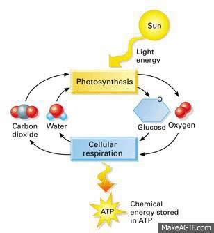 Watch and share Photosynthesis And Cellular Respiration GIFs on Gfycat