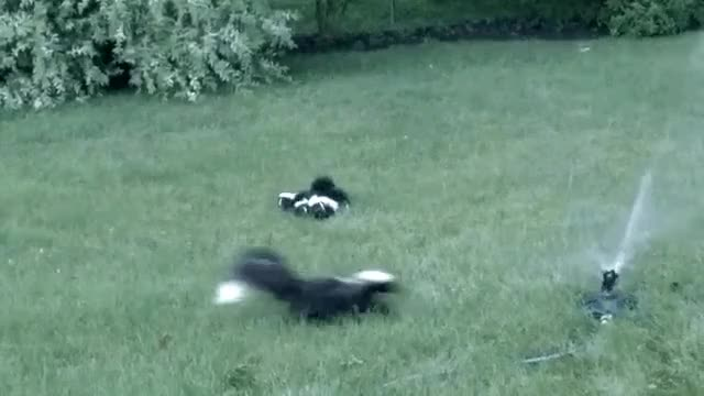 Watch and share Step Away, Little Skunklings! This Thing Will Wash Away Our Super Power! GIFs on Gfycat