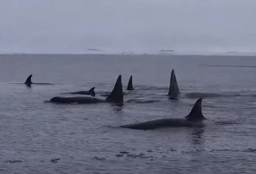 Watch and share Type C Killer Whale GIFs and Killer Whales GIFs on Gfycat