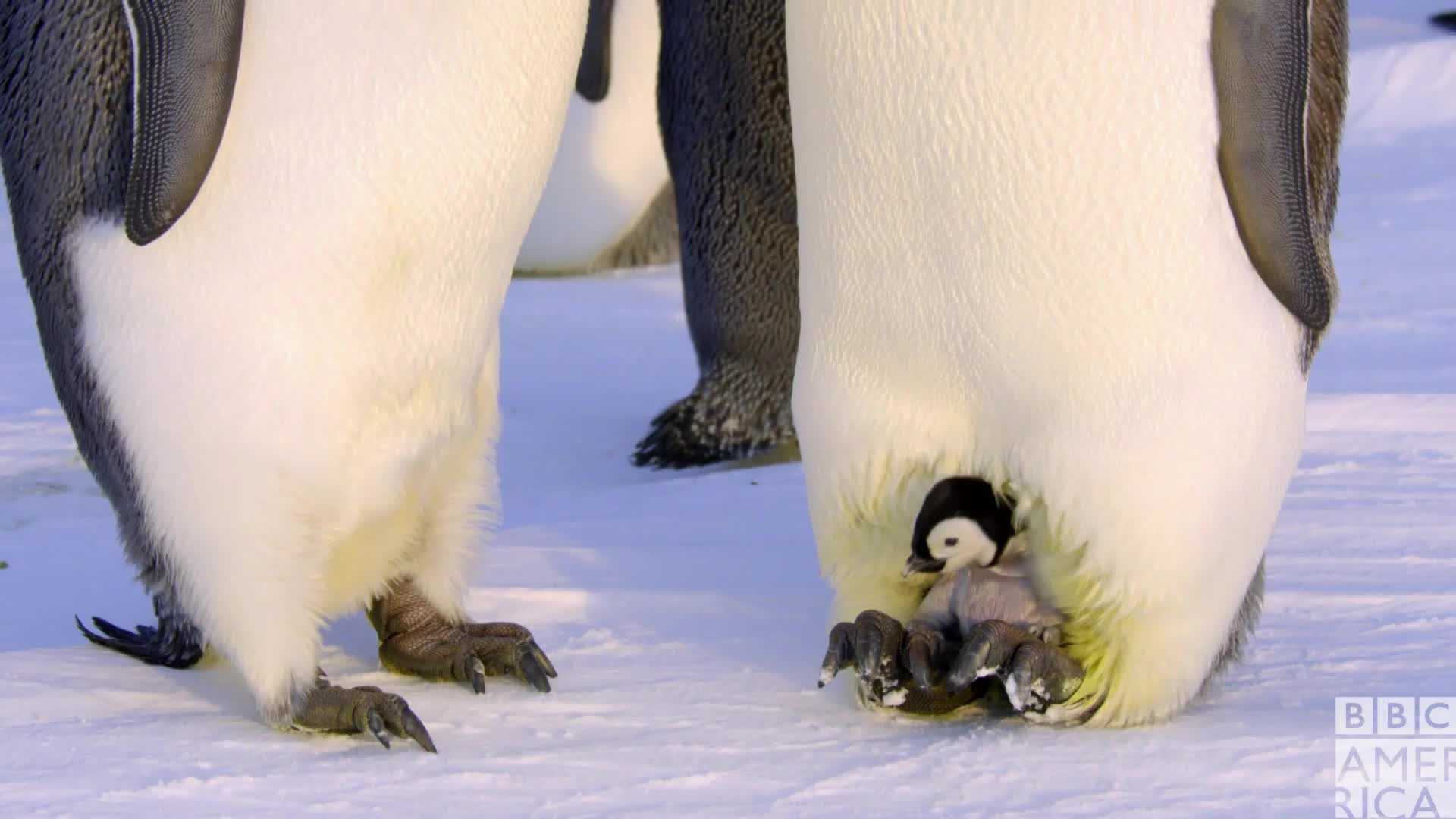 animal, animals, bbc america, bbc america dynasties, bbc america: dynasties, cute, dynasties, emperor penguin, emperor penguins, family, hug, kisses, love, penguin, penguins, Dynasties Happy Penguin Family GIFs
