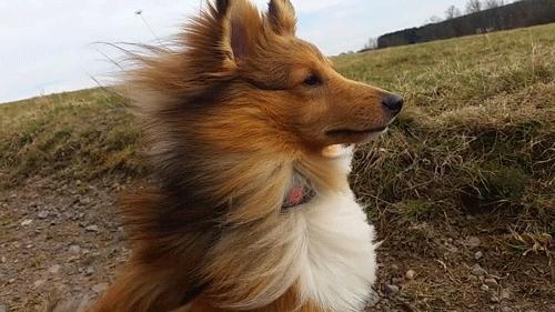 Kyle, Sheltie, Shetland Sheepdog, Shetlandsheepdog, boy, cute, dog, gif, gifs, hair, model, pose, pride, puppy, wind, Shetland GIFs