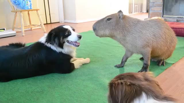 Watch and share Dog And Capybara GIFs on Gfycat