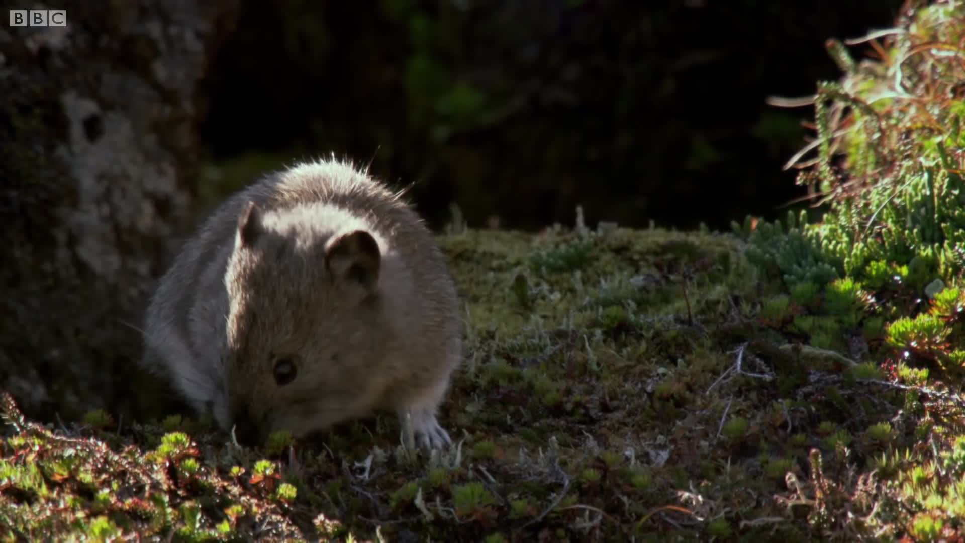 Animals, BBC, BBC Worldwide, British Broadcasting Corporation (Production Company), Green, Natural History, Nature, Wild, Wild Alaska, Wildlife, Collared Pika Prepares For Winter | Wild Alaska | BBC GIFs