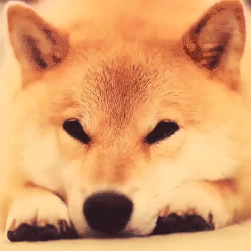 Watch and share Shibe GIFs on Gfycat