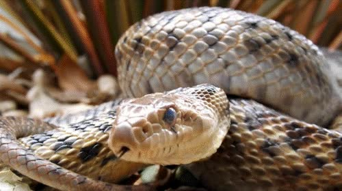 Watch and share Reptile Facts Snakes & Pythons GIFs on Gfycat