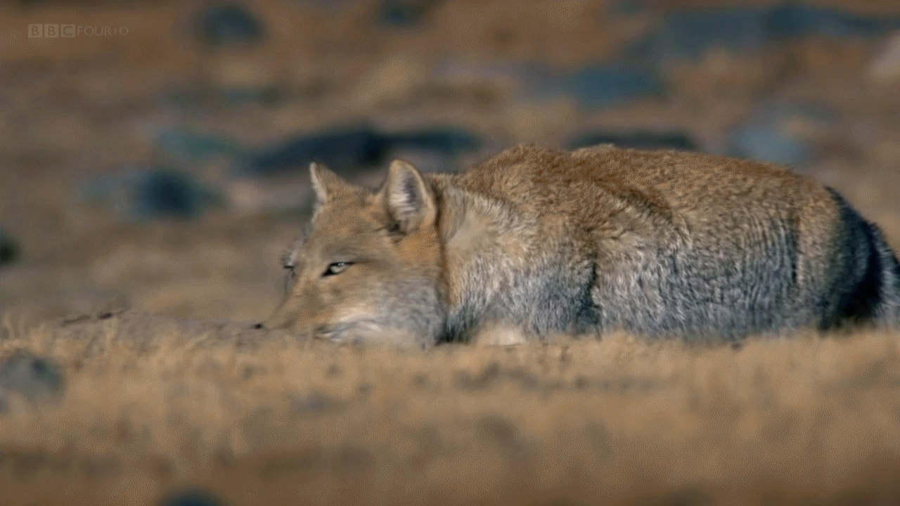 awwducational, foxes, The Tibetan Sand Fox is a suspicious breed. (reddit) GIFs
