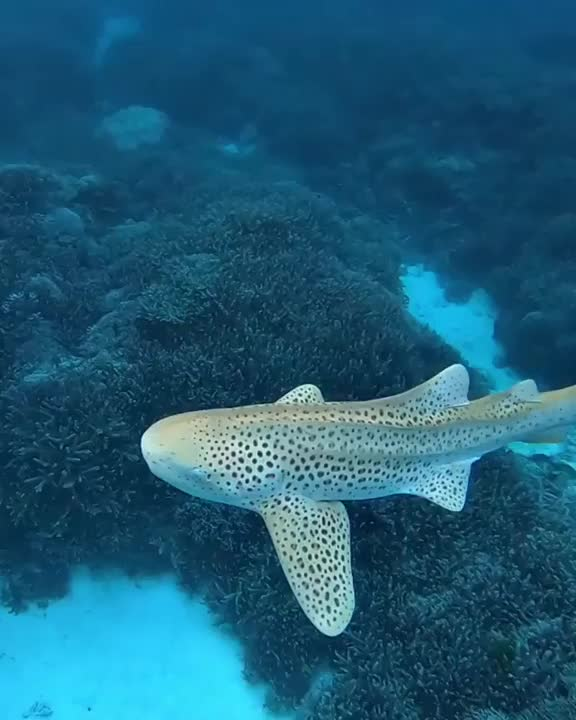 Watch and share Leopard Shark GIFs by Mahmoud M. Mahdali on Gfycat