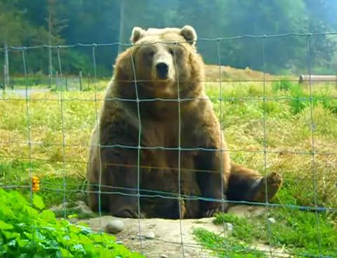 Watch and share Kodiak Bear Waving GIFs on Gfycat