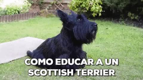 Watch and share Como Educar A Un Scottish Terrier GIFs on Gfycat
