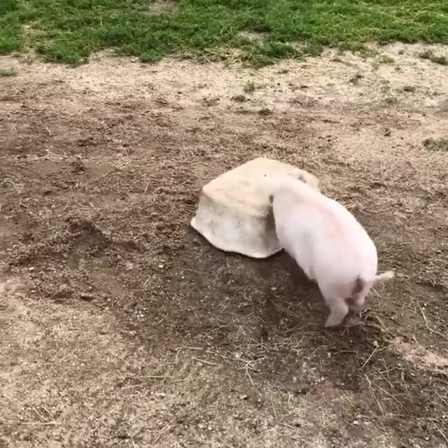 Watch and share Bucket Challenge GIFs and Pigs Playing GIFs by lnfinity on Gfycat