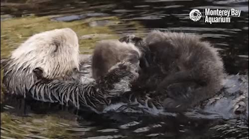 Watch and share River Otter GIFs on Gfycat