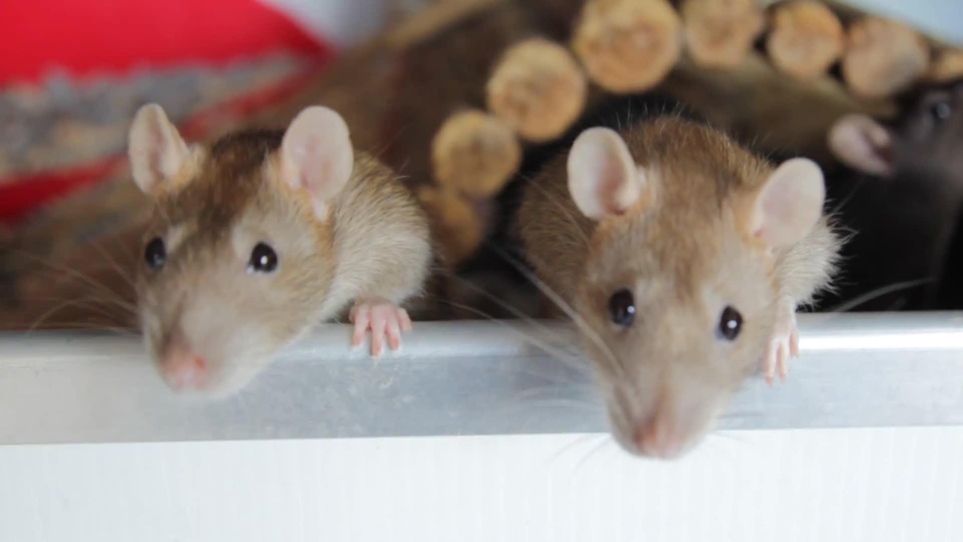 Rats 2 GIFs