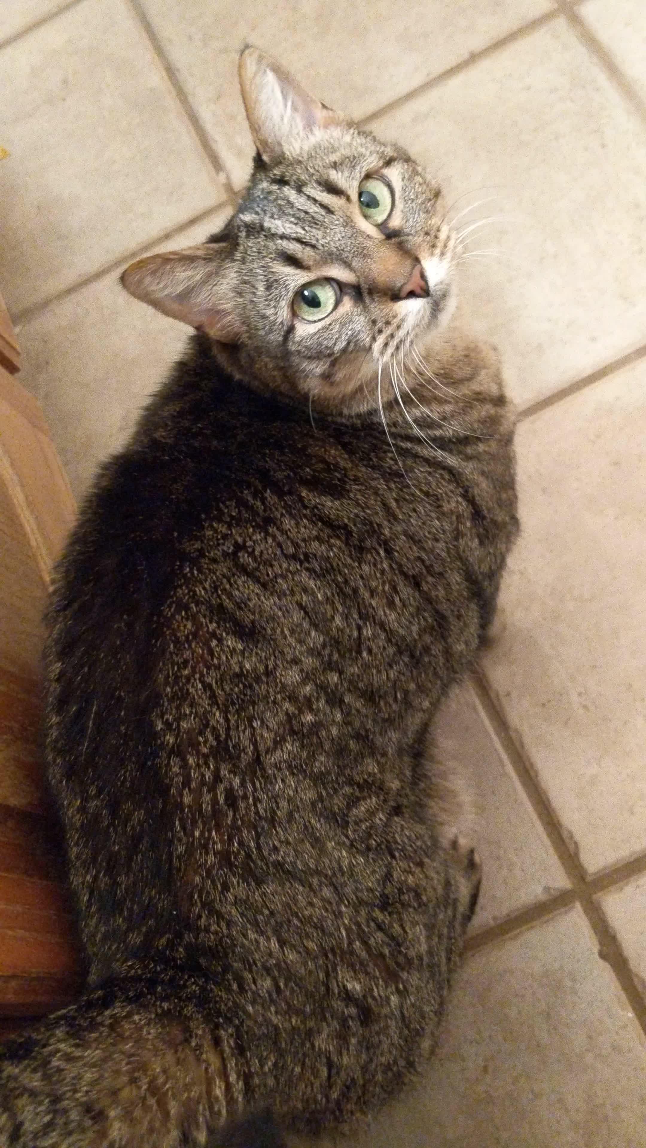 Cat, CatsWhoYell, FloppyFlop, tabby, Mrow! GIFs