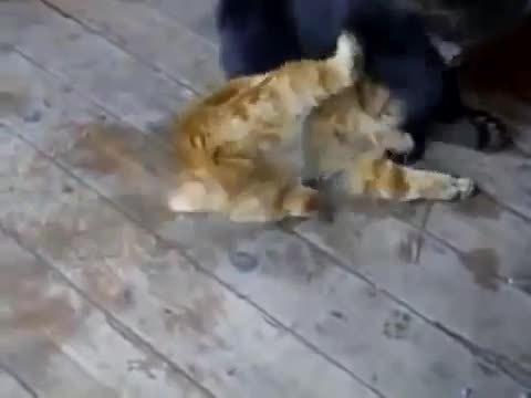 hitmanimals, Bear cub fighting cat (reddit) GIFs