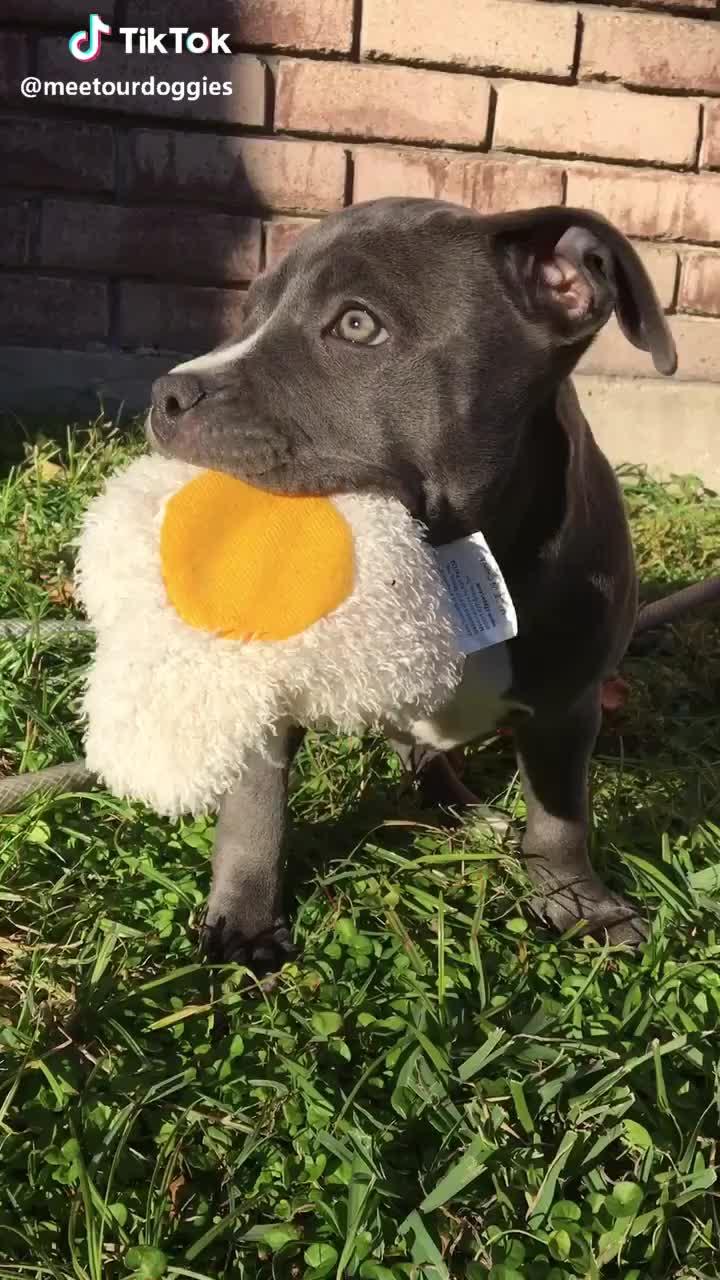 adopted, kiwi, kiwithedog, puppy,  #kiwi #kiwithedog #adopted #puppy #pitbull #aww #foryou #animal #christmas #cute #baby GIFs