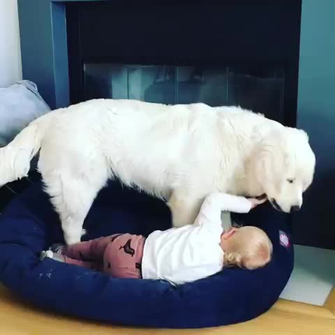 bff, cuddletime, dogs, dogsofinstagram, englishcreamgolden, golden, goldenpupsquadfeature, goldenretriever, goldensofinstagram, kidswithdogs, loki and friends, puppylove, siblinglove, tbt, throwback, whitegolden, the best cuddles GIFs