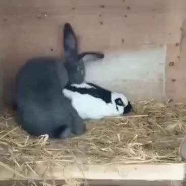 Bunny Rabbits Having Sex GIFs