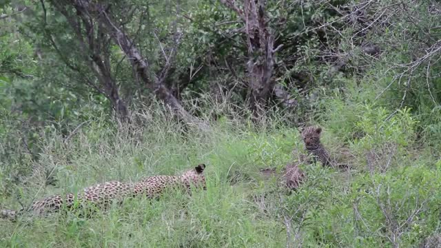 Watch and share Nkoveni Cubs GIFs by Londolozi Game Reserve on Gfycat