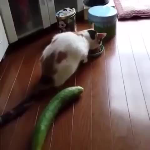 Watch and share Cat Vs Cucumber GIFs on Gfycat
