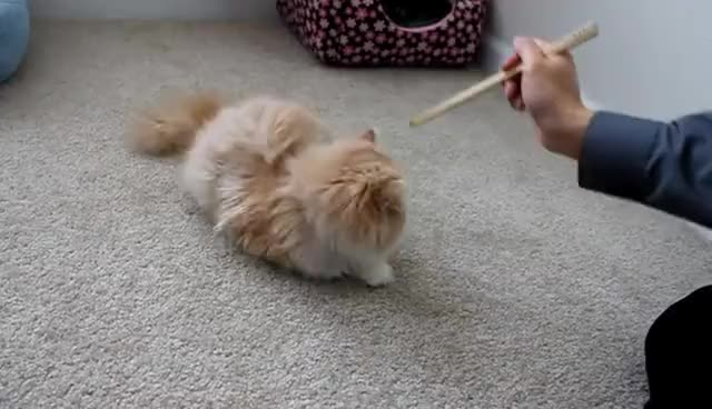 Watch this cat GIF on Gfycat. Discover more cat, chopsticks, pussy GIFs on Gfycat
