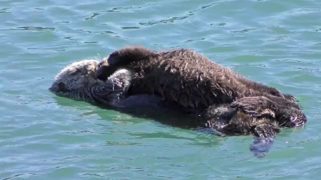 Watch and share Sea Otter GIFs and 4k Uhd GIFs on Gfycat