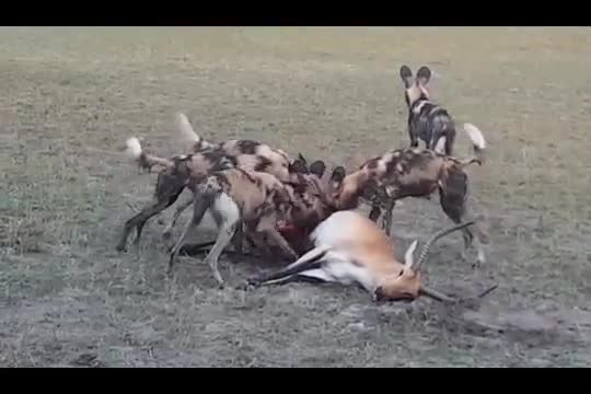 A Lechwe makes one last attempt to defend itself GIFs