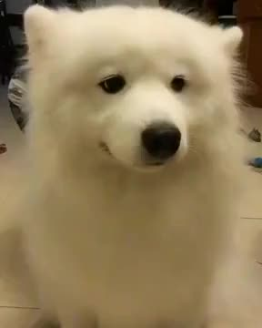 Watch this aww GIF on Gfycat. Discover more awesome, aww, awww, awwwww, baby, cute, dance, dancing, dog, ears, funny, great, pet, puppy, smiling, white GIFs on Gfycat