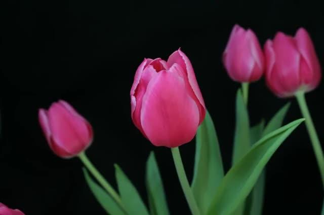 Гифки тюльпаны распускаются, доброго дня привет