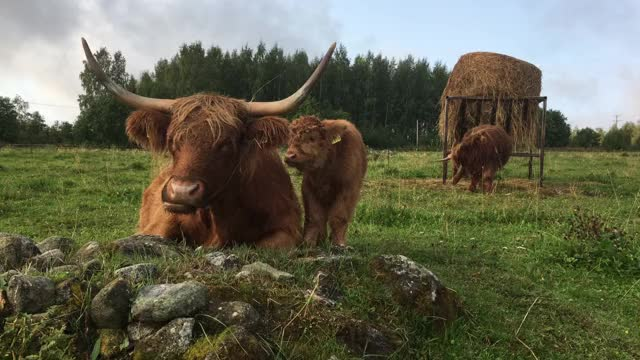 Watch and share Cow GIFs by Highland Cattle of Saarela on Gfycat