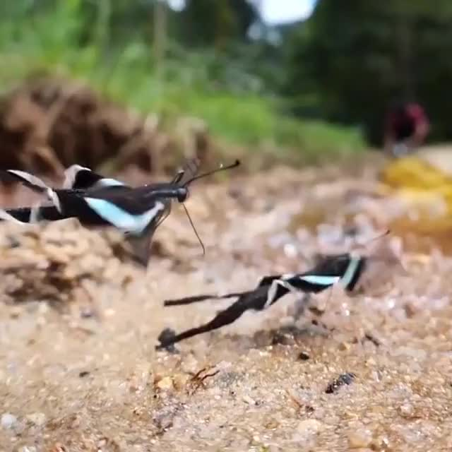 Watch and share Green Dragontail Butterfly From Southeast Asia GIFs by gangbangkang on Gfycat