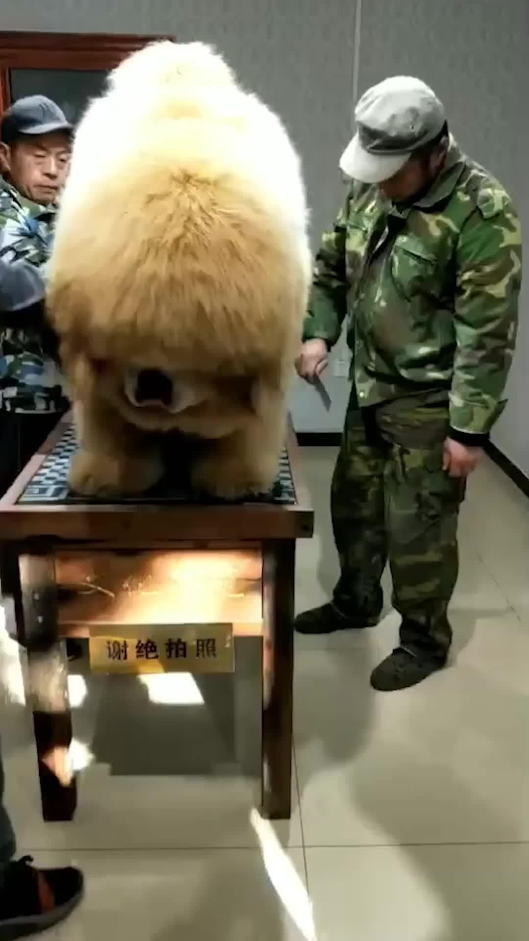 cute, tibetan mastiff, A Tibetan Mastiff GIFs
