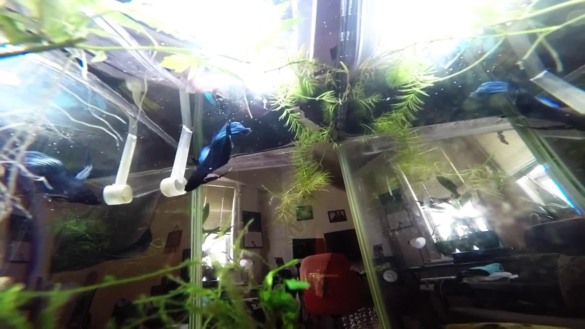 Aquariums, bettafish, EddyFeeding GIFs