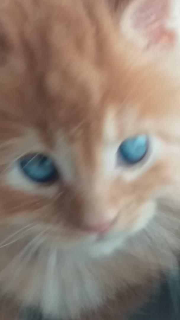 cat, mainecoon, Cute kitten Maine Coon GIFs