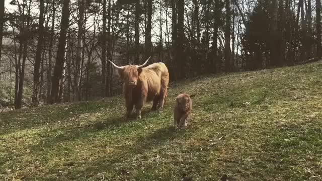 Watch and share Cows GIFs and Cute GIFs by cakejerry on Gfycat