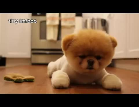 Watch Boo GIF on Gfycat. Discover more cutest dog ever! GIFs on Gfycat