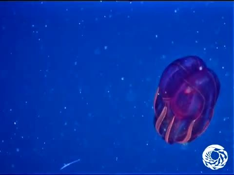 deepseacreatures, Bloodbelly Comb Jelly (reddit) GIFs