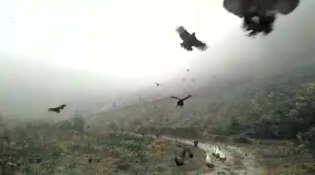 Watch and share Chickens Can Fly GIFs by Beef on Gfycat