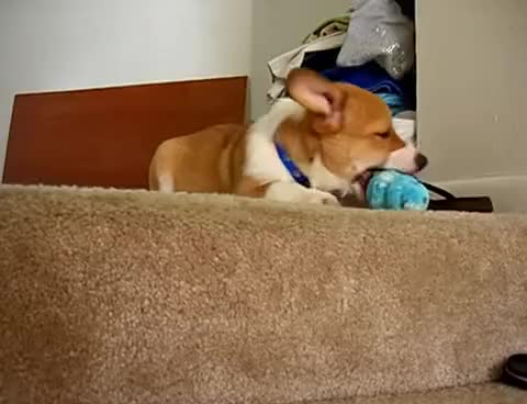 Watch and share Corgi GIFs and Drops GIFs on Gfycat