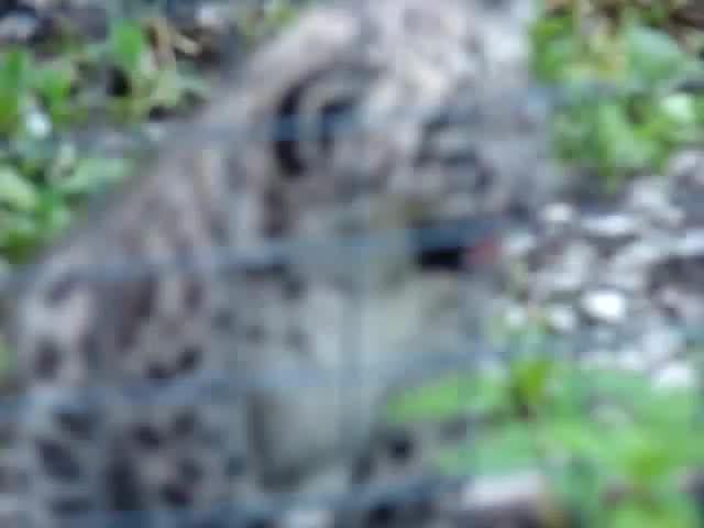 adorable, babies, baby, big, cats, cub, cubs, cute, feline, leopard, leopards, little, panthera, snow, squeek, tiny, uncia, Adorable Snow Leopard Cubs GIFs