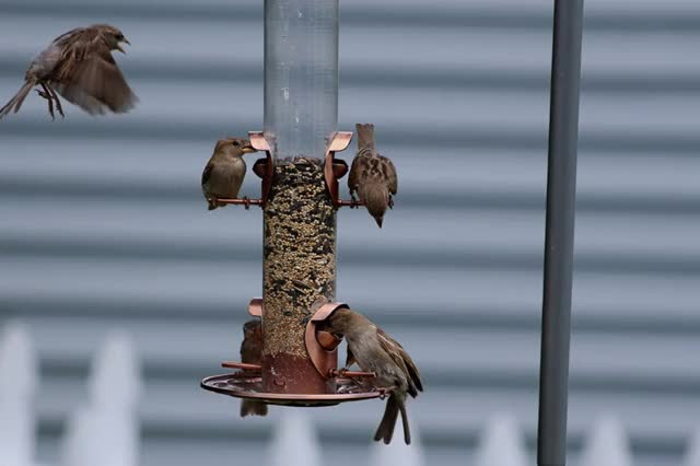 Watch and share Sparrows-at-Feeder-GIF.gif GIFs on Gfycat