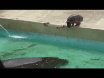 Baby hippo takes a dive GIFs