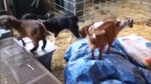 Watch Small Parkour 1 GIF by KNS Farm (@knsfarm) on Gfycat. Discover more aww, cute, eyebleach, goat, goatparkour, goats, knsfarm, mademesmile GIFs on Gfycat