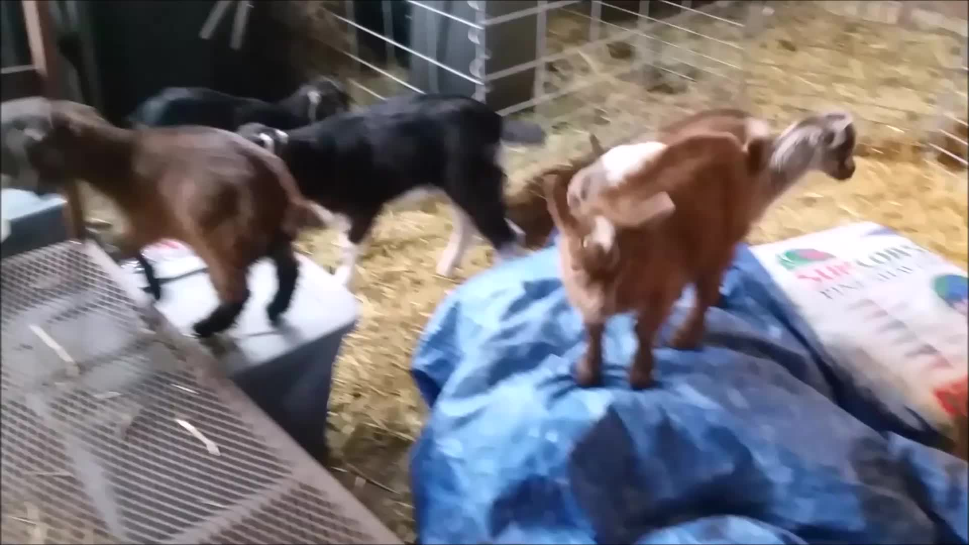 aww, cute, eyebleach, goat, goatparkour, goats, knsfarm, mademesmile, Small Parkour 1 GIFs