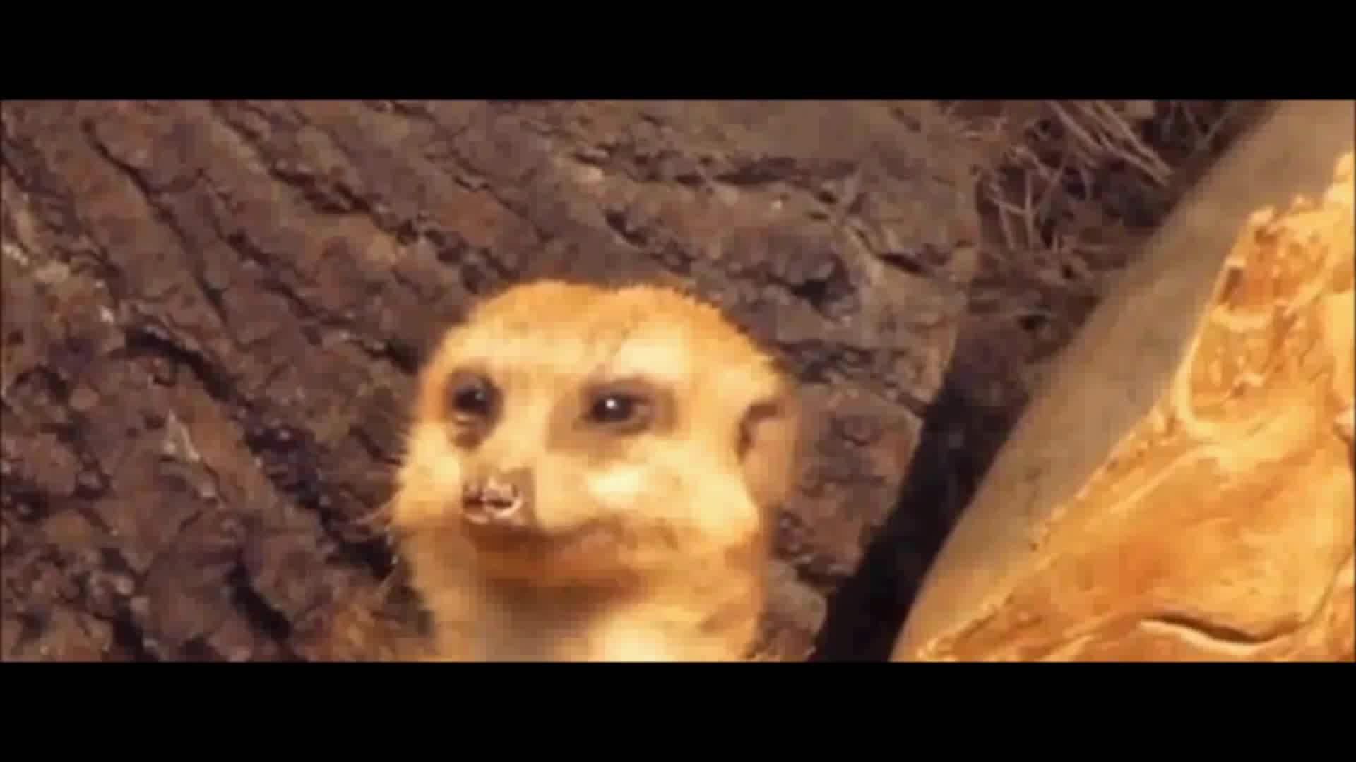 StoppedWorking, asleep, suricat, Meerkat falling asleep GIFs