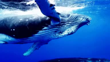 Watch and share Humpback Whales GIFs and Underwater Gif GIFs on Gfycat